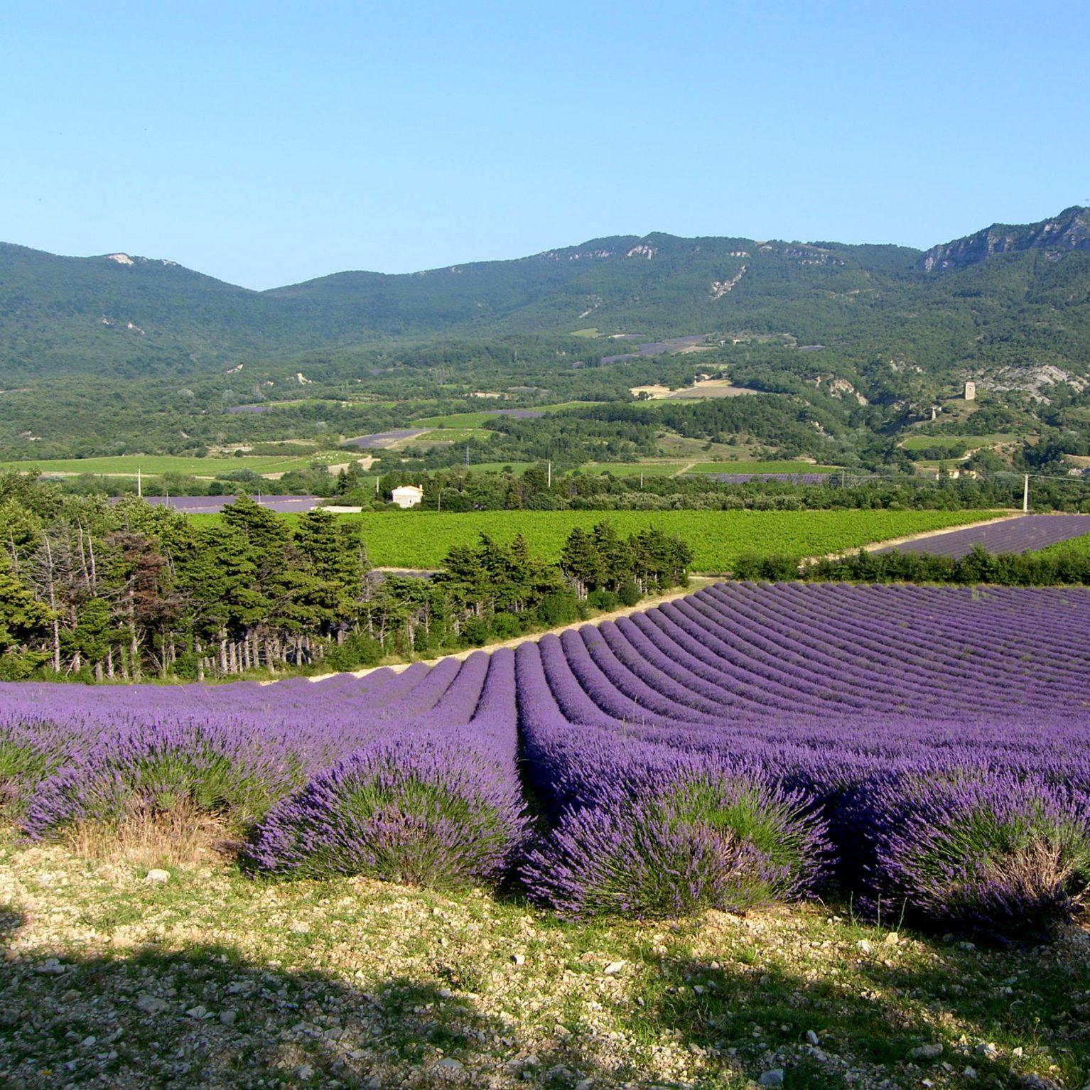 champ de lavande en Drôme provençale